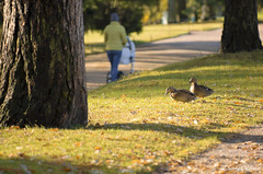 On the quiet alleys (Dmitriy'Os'Ivanov) Tags: pentaxk5 pentax60250mmf4 landscape birds ducks park tsarskoyeselo mother babycarriage autumn sunlight lawn couple two saintpetersburg пейзаж санктпетербург утки птицы лужайка парк осень мама коляска bokeh bokehphotography боке