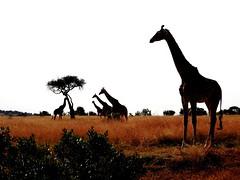 0895ex3 giraffes in silhouette (jjjj56cp) Tags: giraffe giraffes inthewild kenya masaimara ke africa africansafari plains grasslands acacia acaciatree silhouette savannah towerofgiraffes p900 nikonp900 pansing mammal jennypansing coolpixp900 nikoncoolpixp900 landscape africanlandscape