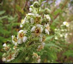 20160826_16 White flowers found on Rim Trail, Grand Canyon, Arizona (ratexla (protected by Pixsy)) Tags: ratexlasgreentortoisetrip2016 ratexlascanyonsofthewesttrip2016 greentortoise canyonsofthewest 26aug2016 2016 canonpowershotsx50hs rimtrail grandcanyon arizona usa theus unitedstates theunitedstates america northamerica nordamerika earth tellus photophotospicturepicturesimageimagesfotofotonbildbilder wanderlust travel travelling traveling journey vacation holiday semester resaresor roadtrip ontheroad sommar summer beautiful nature hiking hike vandra vandring plant plants pretty cool biology botany wild vild vilda life organism växt växter flower flowers blomma blommor favorite