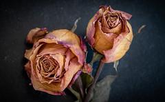 Duo (balese13) Tags: 16300 d5500 istres nikonpassion paca provence tamronaf16300mmf3563dillvcpzdmacrob016 yourbestoftoday balese fleur flower nikon nikonistes pixelistes rose tamron 250v10f 500v20f 1000v40f 1500v60f