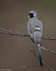 Namaqua Dove, female (leendert3) Tags: leonmolenaar southafrica krugernationalpark wildlife wilderness wildanimal nature naturereserve naturalhabitat namaquadove bird naturethroughthelens coth coth5