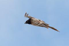 Gypaète barbu - Gypaetus barbatus -Bearded Vulture (olivier teilhard) Tags: vautour gypaètebarbu gypaetusbarbatus beardedvulture oiseau oiseauenvol diois drôme vercors olivierteilhard