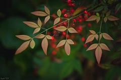 南天 (fumi*23) Tags: ilce7rm3 sony sigma sigma70mmf28dgmacro 70mm emount plant nandina leaf leaves a7r3 nature macro macrolens 植物 葉 ソニー シグマ 実