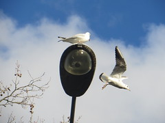 Seagulls looking for lunch (river crane sanctuary) Tags: seagulls gulls rivercranesanctuary nature wildlife