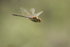 Anax ephippiger (Burmeister, 1839) (Pipa Terrer) Tags: anaxephippiger anisoptera odonata cartagena libélula insecta invertebrados insectos