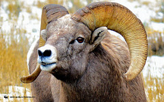 SEE MY PEARLY WHITES (Aspenbreeze) Tags: bighornsheep ram bighornsheepram wildram wildbighornsheep wildlife coloradowildlife wyomingwildlife nature natural wildanimal country mountains prairie rocks beverlyzuerlein aspenbreeze moonandbackphotography