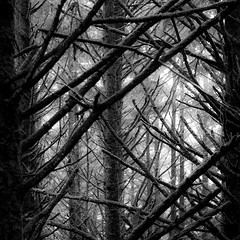 In The Pines 006 (noahbw) Tags: d5000 ecolastatepark nikon oregon pnw pacificnorthwest abstract blackwhite blackandwhite branches bw forest monochrome natural noahbw rain rainforest spring square tree trees woods