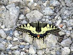Butterfly 1893 (Papilio machaon) (+1800000 views!) Tags: butterfly borboleta farfalla mariposa papillon schmetterling فراشة