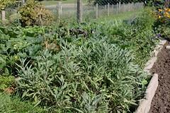 My garden (XLIX) (dididumm) Tags: garden summer salvia sage growing wachsen salbei sommer garten burgfrieden