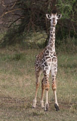 Such A Long Neck Is Quite Useful ... (AnyMotion) Tags: giraffe giraffacamelopardalis young jung calf kalb 2018 anymotion serengetisouth kusini tanzania tansania africa afrika travel reisen animal animals tiere nature natur wildlife 7d2 canoneos7dmarkii ngc npc