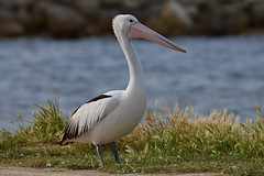 Australian Pelican (cirdantravels (Fons Buts)) Tags: cirdantravels fonsbuts australia australianwildlife wildlifephotography naturalhabitat natur natuur nature wildanimal ngc