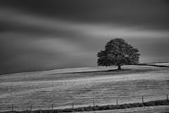 Solitary Tree (Ger208k) Tags: ireland wicklow lonetree farmland fields fences landscape minimalism longexposure leebigstopper blackandwhite nikond800 gerardmcgrath