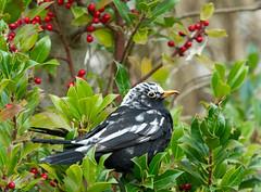 winter coat? ;) (Simple_Sight) Tags: bird blackbird holly ilex berries nature closeup garden outdoors ngc npc