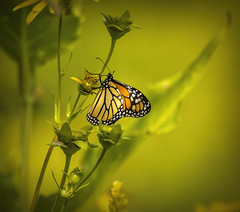 Monarch butterfly..... (Kevin Povenz Thanks for all the views and comments) Tags: 2019 august monarch butterfly monarchbutterfly kevin kevinpovenz westmichigan michigan ottawa ottawacounty ottawacountyparks grandriverpark nature outdoors outside green canon7dmarkii sigma150600 afternoon