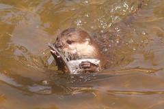 Hoo Farm Animal Kingdom (Simon M Hendry) Tags: animal mammal hoofarm zoo wildlifepark shropshire britain uk england otter shortclawotter water swim swimming fish eat eating hoofarmanimalkingdom