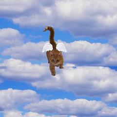 Katnissängel (PackDiamant) Tags: photoshop cat katt glimmer heaven angel ängel himlen angelcat änglakatt