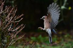 DSC_9198 Geai en vol (sylvette.T) Tags: animal oiseau bird geaienvol 2019 jay coth coth5