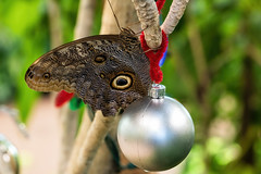 It feels a lot like Christmas (Millie Cruz (On and Off)) Tags: owl butterfly ball ornament decoration closeup nature plants branch insect brown canoneosrebelt6i ef100mmf28lmacroisusm milliecruz christmas hersheygardens hersheypa flickrlounge weeklytheme 🎄