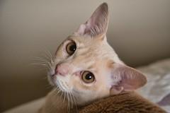 Today's Kitten Photo (jim.kinkennon) Tags: cat burmese european cream