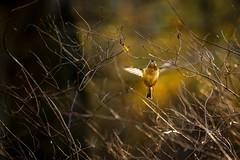 "Shine Bright (paulapics2) Tags: goldcrest regulusregulus bird autumn bokeh fauna nature outdoors golden ""motionblur"" ""smileonsaturday"""