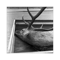 Slovakia 2019 (Jérôme B.) Tags: slovakia meopta flexaret flexaretiii squareformat square 120 film ilford slovaquie chasse hunting stag