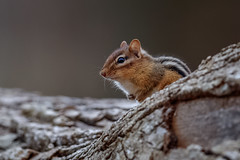Eastern Chipmunk (wn_j) Tags: nature naturephotography wildlife wildanimals wildlifephotography chipmunk canon canon1dxii canon500mm animals talcottmountain connecticutwildlife newengland rodent