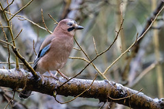 Jay in Formby woods (Richard J Hunt) Tags: woods formby canon90d jay