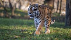 Mr Majestyk (Jonnyfez) Tags: vlad vladimir siberian amur tiger predator big cat jonnyfez d850 300m yorkshire wildlife park