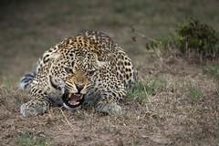 attack (renatecamin) Tags: kenia leopard kenya africa afrika wildlife animal cat