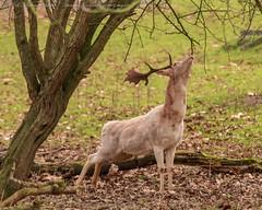 IMG_6135b (del.hickey) Tags: deer ashton court estate bristol