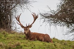 IMG_1409b (del.hickey) Tags: deer ashton court estate bristol
