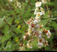 20160826_17 White flowers found on Rim Trail, Grand Canyon, Arizona (ratexla (protected by Pixsy)) Tags: ratexlasgreentortoisetrip2016 ratexlascanyonsofthewesttrip2016 greentortoise canyonsofthewest 26aug2016 2016 canonpowershotsx50hs rimtrail grandcanyon arizona usa theus unitedstates theunitedstates america northamerica nordamerika earth tellus photophotospicturepicturesimageimagesfotofotonbildbilder wanderlust travel travelling traveling journey vacation holiday semester resaresor roadtrip ontheroad sommar summer beautiful nature hiking hike vandra vandring plant plants pretty cool biology botany wild vild vilda life organism växt växter flower flowers blomma blommor favorite