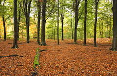 autumn carpet (JH Photos!) Tags: jhphotos canon canon600d tamron1024 tamron autumn fall herfst herbst trees tree bomen baüme bos wald forest beeches beuken buchen outdoors nopeople tranquility beautiful photography nature natuur natur naturelovers landschap landscape landschaft landscapelovers