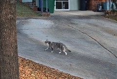 walking cat (rootcrop54) Tags: cc100 cc200 dilute calico cat neighbor neighborhood walking neko macska kedi 猫 貓 kočka kissa γάτα köttur kucing gatto 고양이 kaķis katė katt katze katzen katua kot кошка mačka gatos kotek мачка pisică pisici maček kitteh chat ネコ