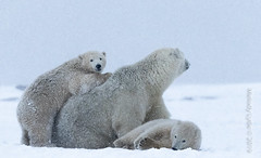 Polar Bear, mom and cubs (karenmelody) Tags: usa animal animals alaska mammal polarbear mammals vertebrate ursusmaritimus familyursadae unitedstatesofamerica vertebrates salcha