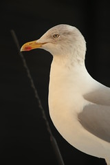 Is there a connection? (Henry Hemming) Tags: seagull gull herringgull seabird lines half separated conjunction connnection joined separate