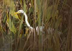 (paulgarf53) Tags: egret bird florida nature lakewoodruff nikon d700 topaz topazstudio2