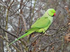 Ring Necked Parakeet (davidhampton1066) Tags: bird lwt lavellswetlandtrust leafarmgravelpit reading berkshire animal nature nikonp900 nikon nikkor