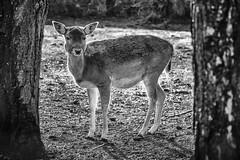 Young female Fallow deer (Aliy) Tags: fallow deer doe hind wildwood kent animal wildlifepark
