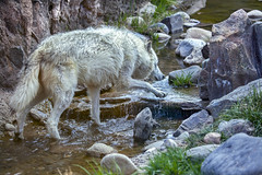 Yellowstone wolf 5 (Largeguy1) Tags: approved nature animal wolf canon 5d mark ii