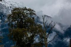 Caracaras (José Rambaud) Tags: peulla andes andesrange chile patagonia loslagos arbol arboles tree travel clouds cloudscape forest bosque mountains mountain montañas montaña