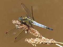 Black-tailed Skimmer - Großer Blaupfeil (anne.w.51) Tags: dragonflies