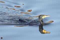 Fishing in Pairs (alundisleyimages@gmail.com) Tags: cormorant bird wildanimal seabird reflection wildlife aquatic prowling hunting hunter water marina liverpool autumn season plumage creature