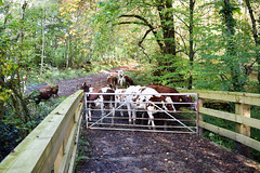 hff 72 (Harry McGregor) Tags: fencedfriday hff fence cows cattle farmland countryside ayrshire scotland auchinleckestate nikon d3300 harrymcgregor 15 october 2019