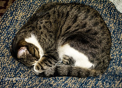 Cat Bed Rustler Happy Caturday (Photographybyjw) Tags: cat bed rustler happy caturday henry will take over leos favorite when he gets chance found north carolina ©photographybyjw animal feline country rural