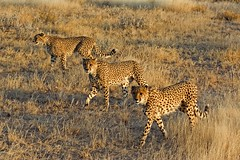 3-Man Central Defense (aivar.mikko) Tags: cheetah cheetahs acinonyxjubatus acinonyx jubatus bigcat bigcats big cat cats spitzkoppe etosha wildlife animals animal namibia namibian southafrica southafrican south africa african three 3 coth5 ngc