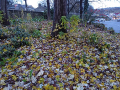 (Chris Hester) Tags: 483p brighouse yellow leaves