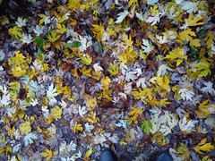 (Chris Hester) Tags: 482p brighouse yellow leaves