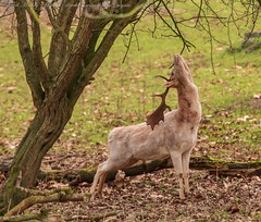 IMG_6138b (del.hickey) Tags: deer ashton court estate bristol