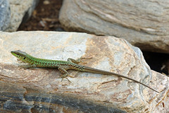 Podarcis filfolensis (m) (Roy Lowry) Tags: podarcisfilfolensis maltesewalllizard filfolalizard lizard walllizard sliema tignepoint